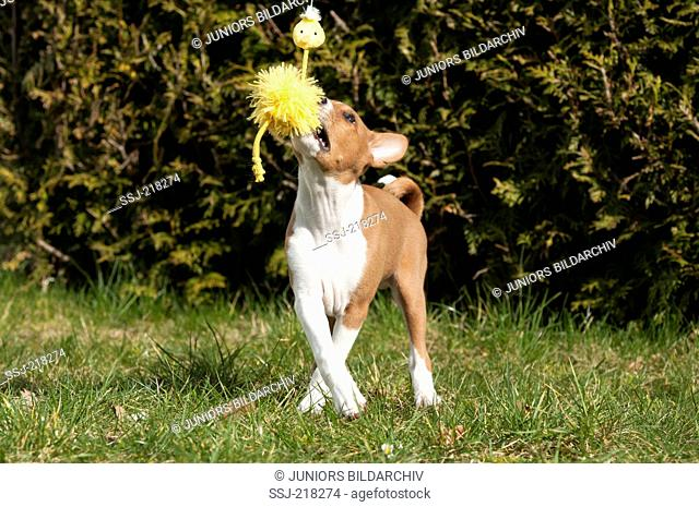 Basenji. Puppy (10 weeks old) playing with a toy on a meadow. Germany