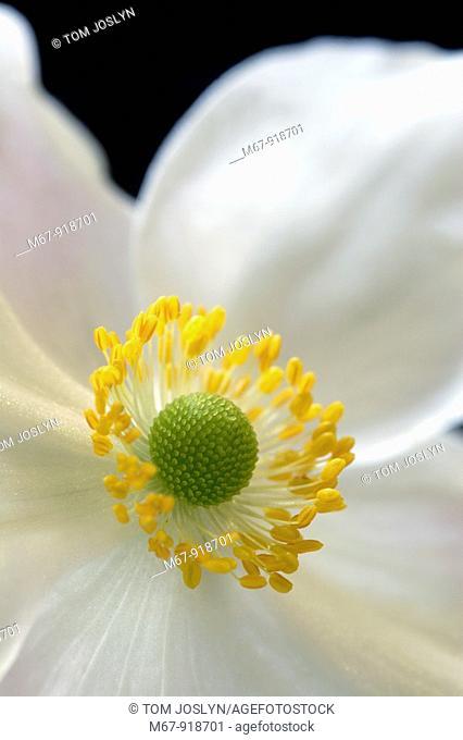 Anemone hupehensis - Japanese Anemone flower close up England UK