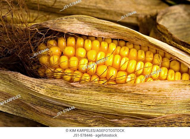 Wisconsin, Kenosha County. Ears of ripe field corn, husks pulled back, rows of kernels