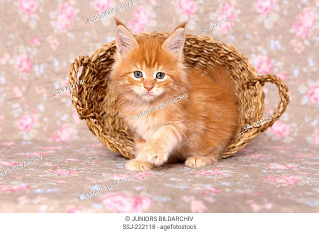 American Longhair, Maine Coon. Kitten (6 weeks old) walking in front of a basket. Studio picture against a floral design wallpaper