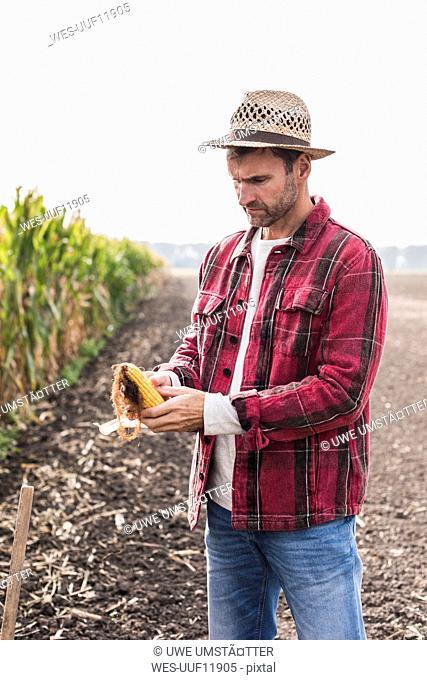 Farmer on field examining corn cob