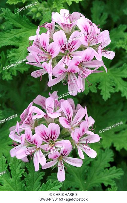 PELARGONIUM 'CAMPHOR ROSE'