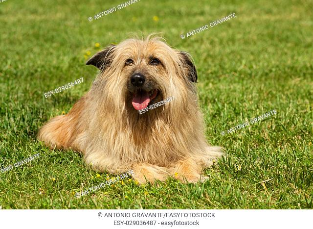Portrait of similar Lhasa Apso dog in a green grass