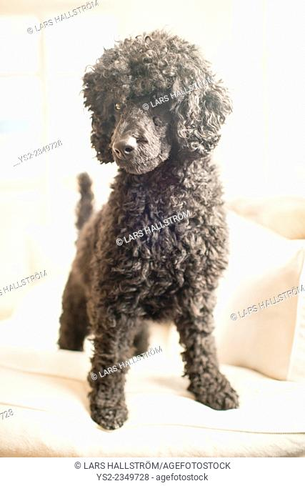 Black poodle standing on white sofa in bright home living room