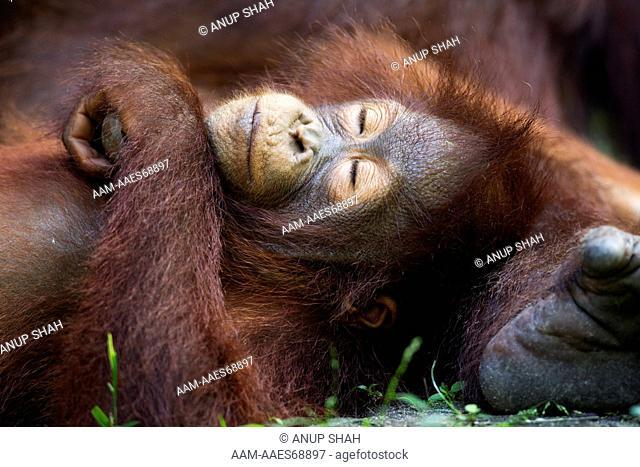 Bornean Orangutan female baby 'Putri' aged 2 years sleeping (Pongo pygmaeus wurmbii). Camp Leakey, Tanjung Puting National Park, Central Kalimantan, Borneo
