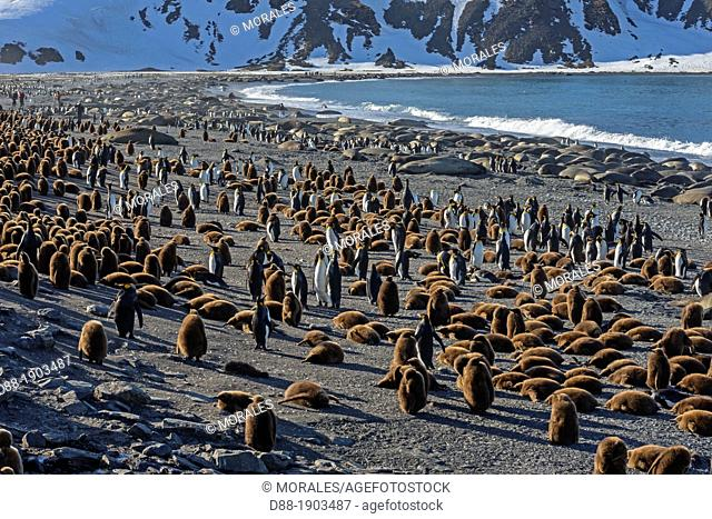 United Kingdom, South Georgia Islands, Saint Andrews plains, King Penguin, Aptenodytes patagonicus, youngs in brown and adults