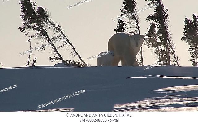 Polar Bear (Ursus maritimus) female with cub after hibernation, walking between trees