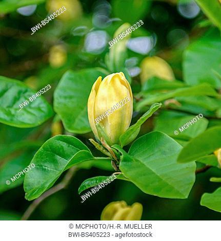 magnolia, cucumber tree (Magnolia acuminata 'Moegi Dori', Magnolia acuminata Moegi Dori), flowerd of the cultivar Moegi Dori