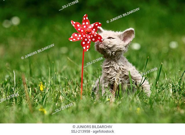 Selkirk Rex. Kitten sniffing at wind wheel on a meadow. Germany