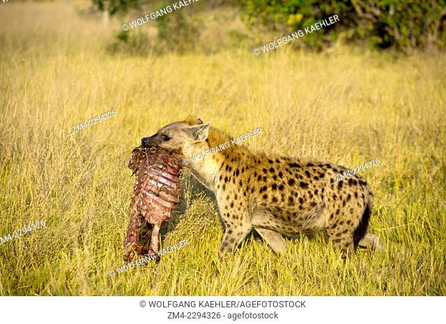 Spotted hyena (Crocuta crocuta) is carrying part of a baby Cape buffalo kill to its den near the Vumbura Plains in the Okavango Delta in northern part of...