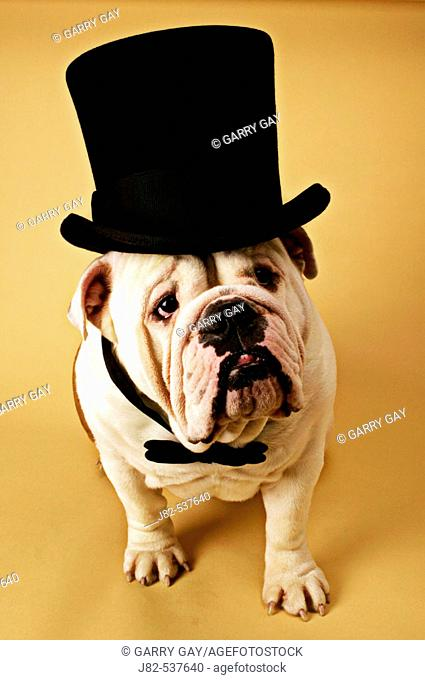 English Bulldog with top hat