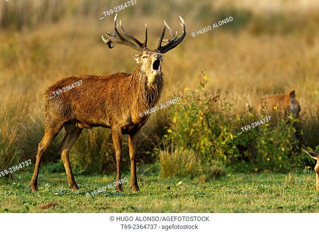 Red deer Cervus elaphus. Spain