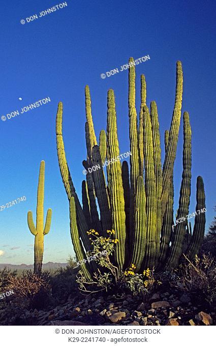 Organ Pipe cacti, Organ Pipe Cactus National Monument, Arizona, USA