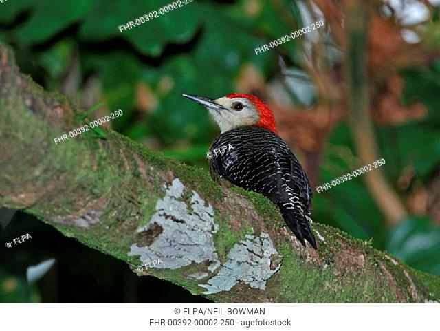 Jamaican Woodpecker Melanerpes radiolatus adult male, perched on branch, Ecclesdown Road, Jamaica, march