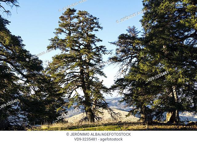 Biosphere Reserve. Natural Park Sierra de las Nieves. Spanish Fir Abies pinsapo. Ronda, Malaga province. Andalusia, Southern Spain. Europe