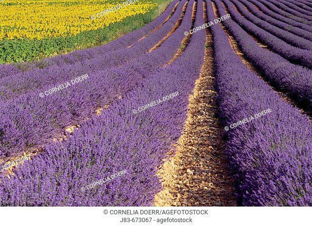 Field of Lavender and Sunflowers (Lavandula angustifolia), Plateau de Valensole, Valensole, Provence, France
