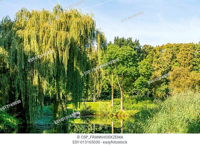 Willow overhanging a pond in park