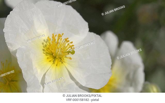 Helianthemum apenninum, or white rock rose, extreme close up