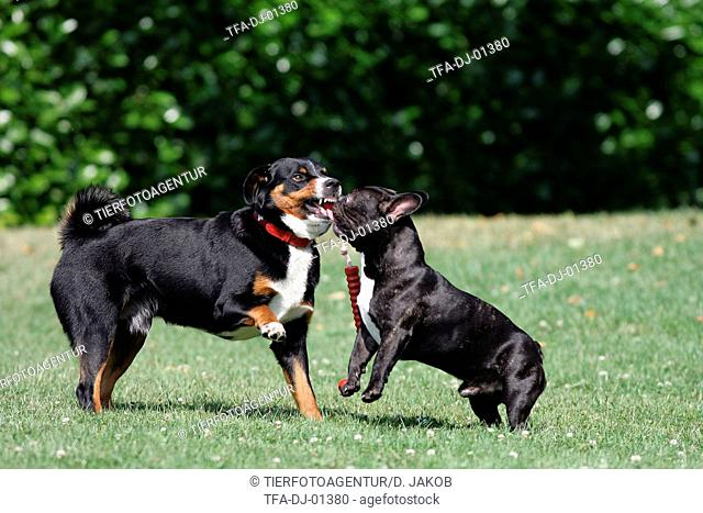 Appenzell Mountain Dog and French Bulldog