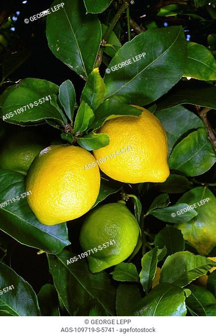 Agriculture - Lemons on the tree / San Luis Obispo County, California, USA