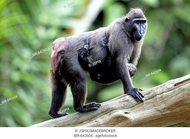 Celebes Crested Macaque or Crested Black Macaque (Macaca nigra), adult female with infant, native to Borneo, Celebes