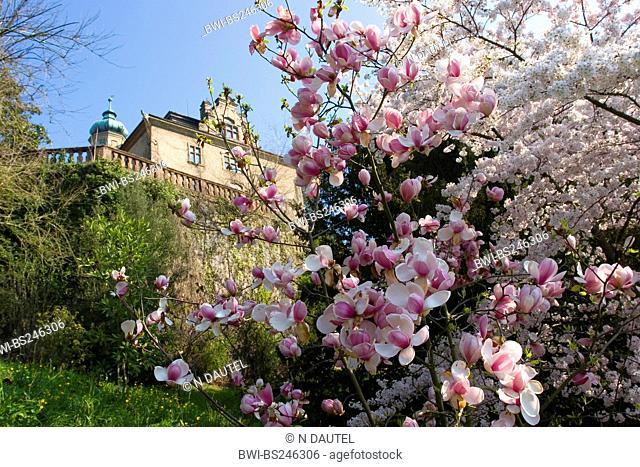 saucer magnolia Magnolia x soulangiana, Magnolia soulangiana, Magnolia x soulangeana, Magnolia soulangeana, building in the spa area of Florentiner Berg