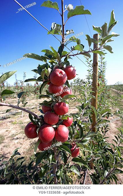 Apple Brookfield on a tree  LLeida  Spain
