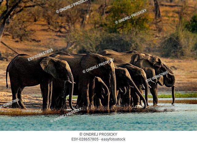A herd of African elephants drinking at a waterhole. Botswana