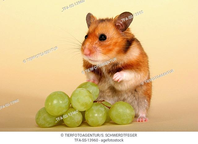 golden hamster with grapes