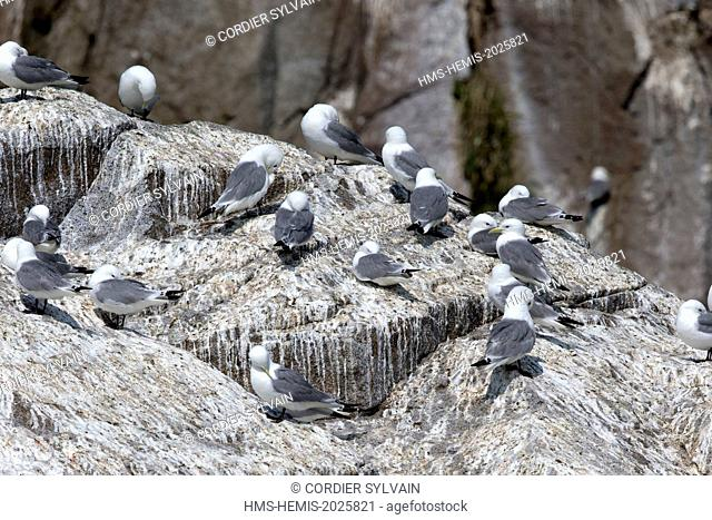United States, Alaska, Kenai Peninsula, Kenai Fjords National Park, Black-legged kittiwake (Rissa tridactyla), colony in a cliff