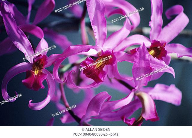 Close-up of a cluster of pink cattleya orchids