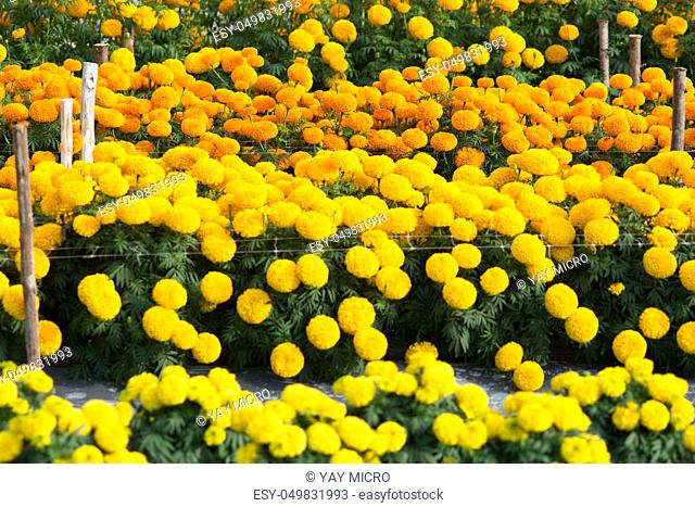 Orange and Yellow Marigolds flower fields, selective focus