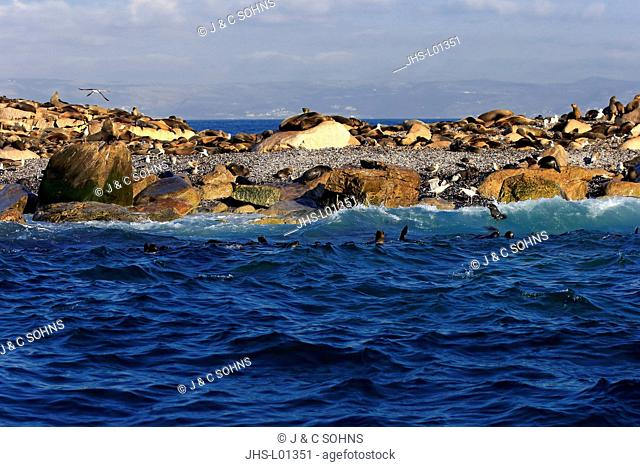 Seal Island, Seal Colony, Western Cape, South Africa, Africa