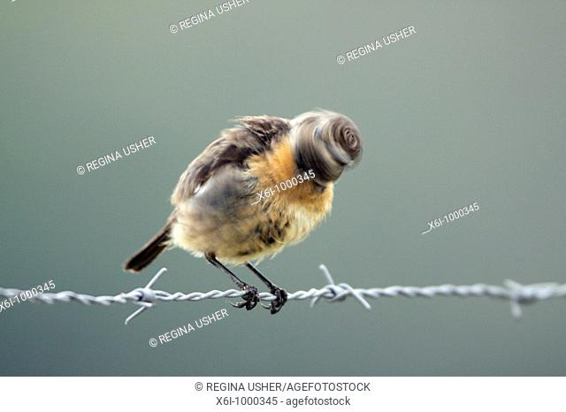 Stonechat Saxicola torquata, female shaking head after bathing, Portugal