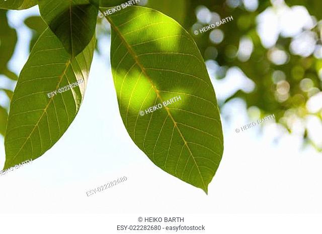 Blätter der Walnuss