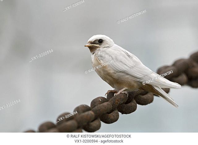Barn Swallow ( Hirundo rustica ), just fledged, gene mutation, white plumage, leucistic, leucism, perched on a massive chain, side view, wildlife, Europe