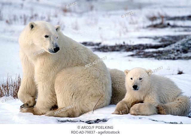Polar Bears female with young Churchill Manitoba Canada Ursus maritimus Thalassarctos maritimus