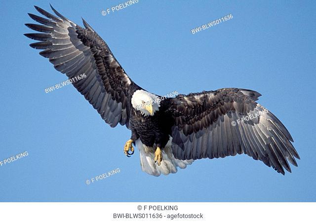 American bald eagle Haliaeetus leucocephalus, flying, approach, USA, Alaska, Homer