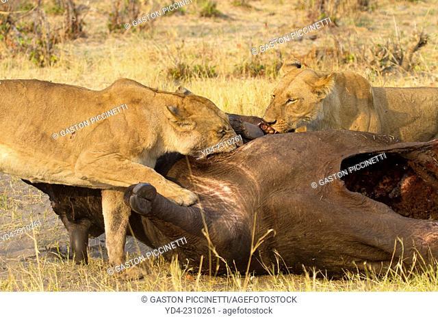 African lion (Panthera leo) - Female, eating a Cape buffalo (Syncerus caffer), Savuti, Chobe National Park, Botswana