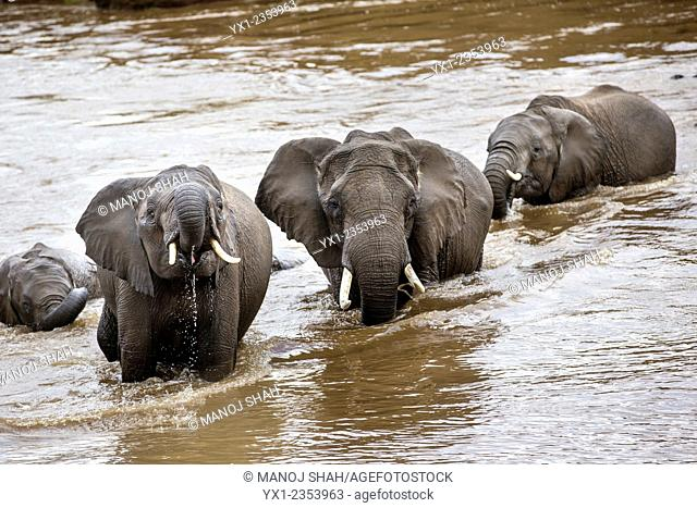 African Elephants crossing the river