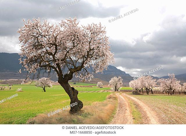 Old almond tree in blossom, Biosfera reserve, Leza valley, Rioja wine region, Spain