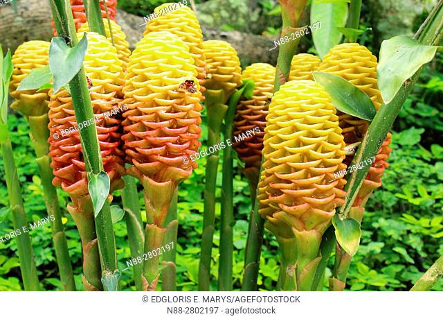 Shampoo Ginger, Zingiber zerumbet, Tropical Rainforest, Altos Mirandises, Venezuela , South America