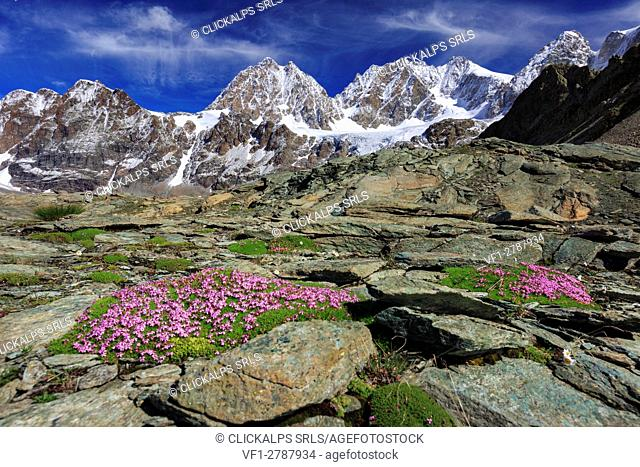 Silene acaulis, moss campion or cushion pink, in front of Bernina group near Bocchetta delle Forbici, Valmalenco, Province of Sondrio, Lombardy, Italy