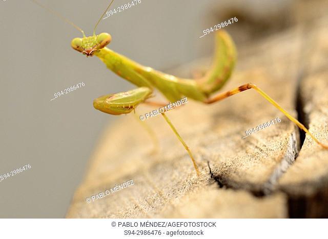 Small mantis (Fam. Mantidae) near Phnom Krum, Tonle Sap area, Cambodia