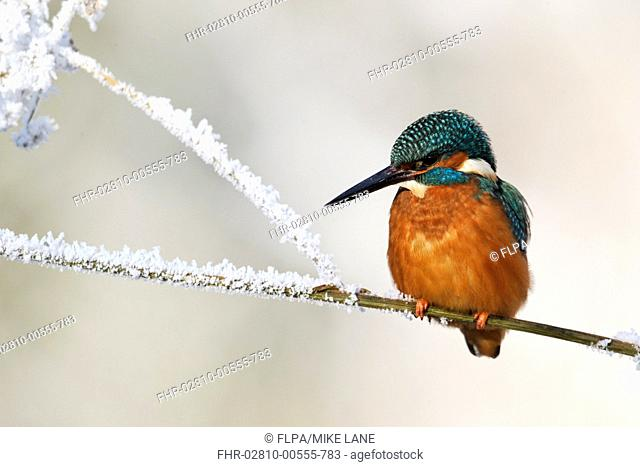 Common Kingfisher Alcedo atthis adult, perched on stem in frost, Midlands, England, december