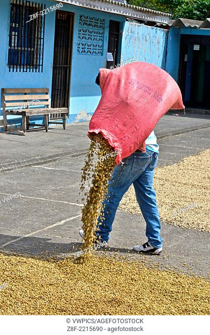 Young people drying coffee under the Nicaraguan sun