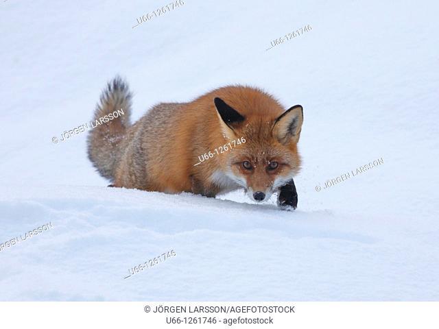 Red fox Gnesta Södermanland Sweden