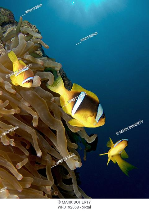 A Family of Red Sea anemonefish Amphiprion bicinctus, guarding their host anemone Na'ama Bay, Sharm El Sheikh, South Sinai, Red Sea, Egypt rr
