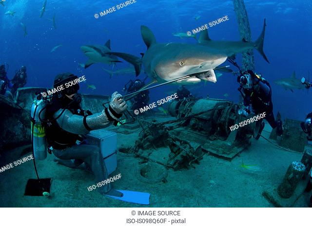 Shark feeding dive