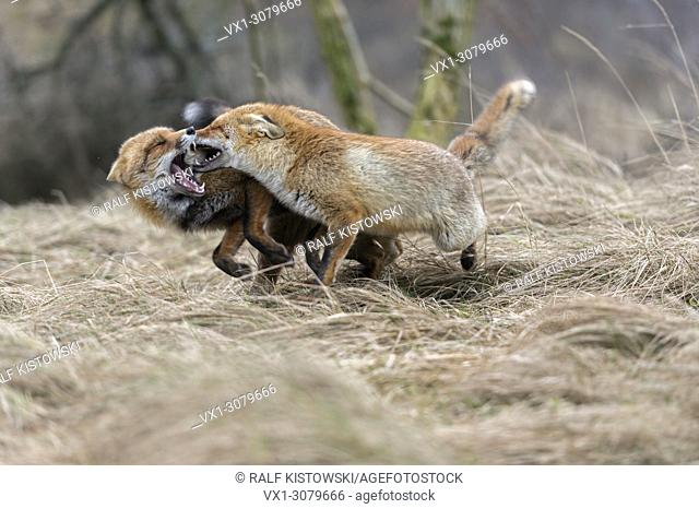 Red Foxes ( Vulpes vulpes ) running next to each other, chasing, fighting, biting, showing territorial behaviour, wildlife, Europe